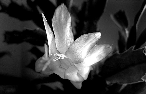 Rock Climbing Photo: Christmas cactus flower. Photo by Blitzo.