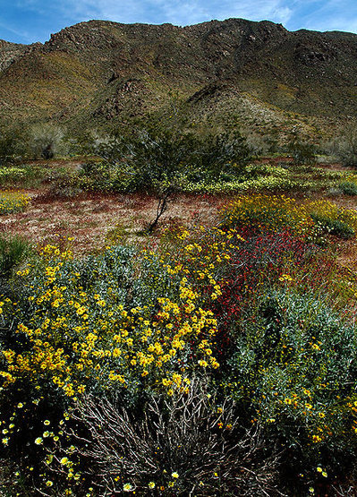 Rock Climbing Photo: Wildflowers in Pinto Basin. Photo by Blitzo.