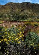 Rock Climbing Photo: Wildflowers in Pinto Basin. Photo by Blitzo.