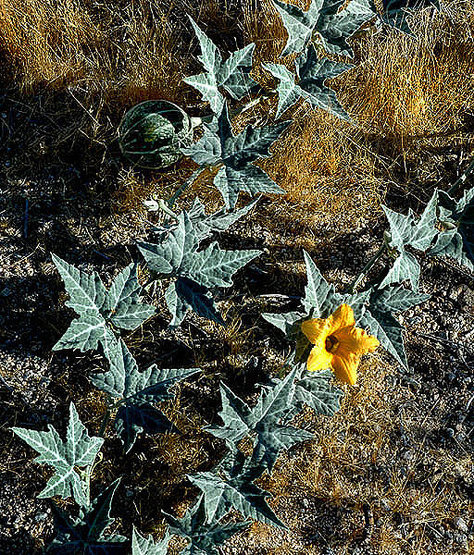 Rock Climbing Photo: Coyote Melon (Cucurbita foetidissima). Photo by Bl...