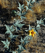 Rock Climbing Photo: Coyote Melon (Cucurbita foetidissima). Photo by Bl...