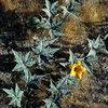 Coyote Melon (Cucurbita foetidissima).<br> Photo by Blitzo.
