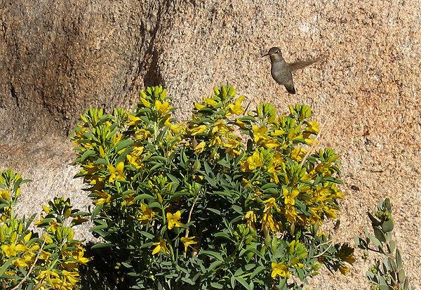 Bladderpod and hummingbird.<br> Photo by Blitzo.