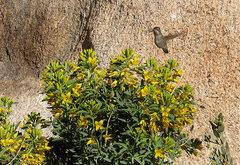 Rock Climbing Photo: Bladderpod and hummingbird. Photo by Blitzo.