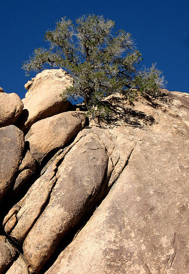 This pinon appears to be growing out of stone.<br> Photo by Blitzo.