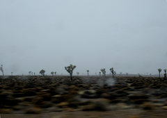 Rock Climbing Photo: 'Joshua Trees in the Mist'  SoNv  January 2010