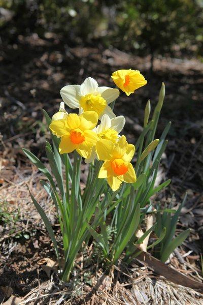 Daffodils along the Ernie Maxwell Scenic Trail.