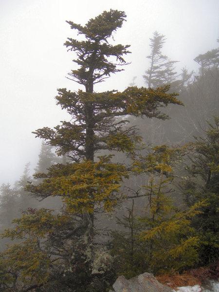 Eastern Hemlock Atop Mount LeConte