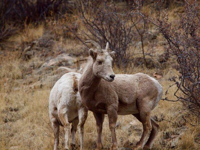 Bighorn by Bob D.<br>