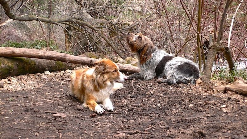 Rock Climbing Photo: The two best dogs ever... Simon and Bart in Mill C...