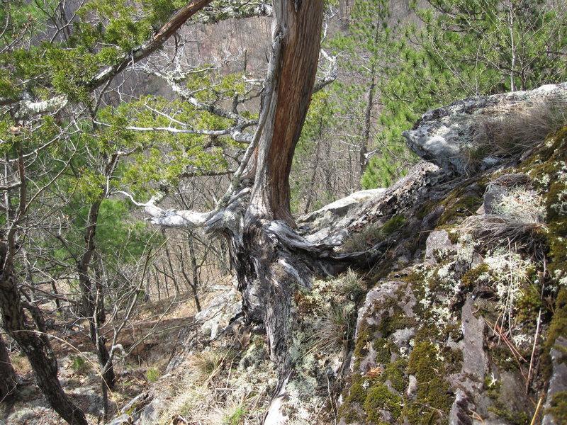 Rock Climbing Photo: Crack ends where climbing that tree began. The tre...