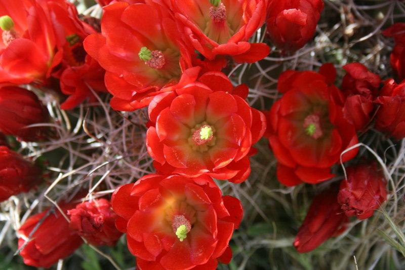 Rock Climbing Photo: Desert Blooms