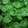 Miner's Lettuce. Tastes good too!<br> Photo by Blitzo.