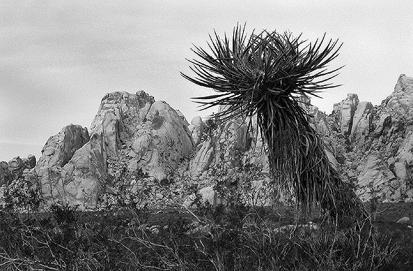 Granite Mountains and Yucca.<br> Photo by Blitzo.<br>