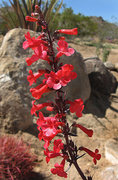 Rock Climbing Photo: Penstemon. Photo by Blitzo.