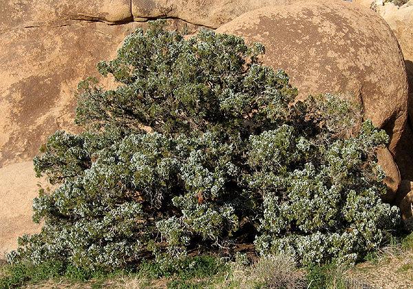 Rock Climbing Photo: A big, beautiful California Juniper. Photo by Blit...