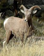 Rock Climbing Photo: A young Big Horn. Photo by Blitzo.