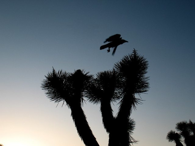 Rock Climbing Photo: Raven lunatic, Joshua Tree NP