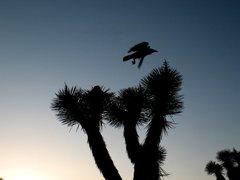 Rock Climbing Photo: Raven lunatic, Joshua Tree NP