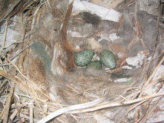 Rock Climbing Photo: Beautiful eggs in a raven's nest on Right S-Crack....