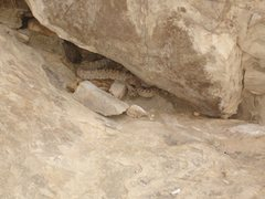 Rock Climbing Photo: This fatty rattly was found a few feet right of th...