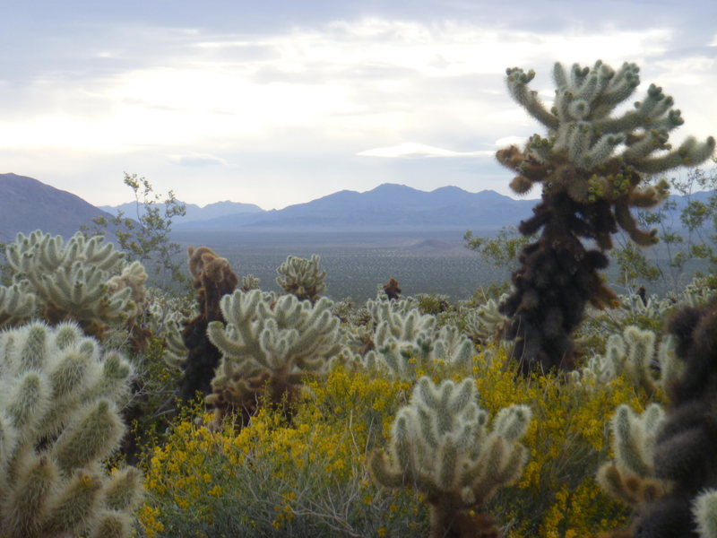 Rock Climbing Photo: The Cholla Garden looked really nice with all the ...