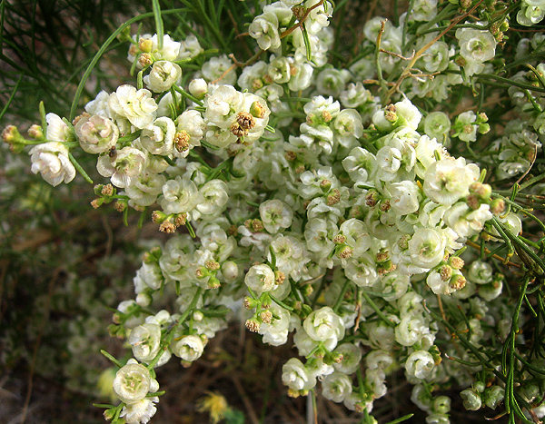 Popcorn Flower.<br> Photo by Blitzo.