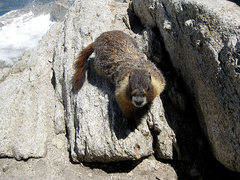 Rock Climbing Photo: summit marmot