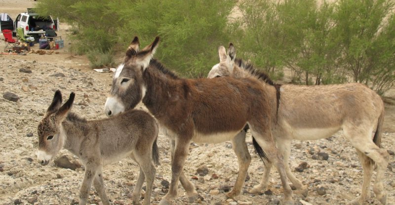 Rock Climbing Photo: The friendly burros at our campsite at the Saline ...