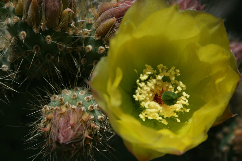 Rock Climbing Photo: Cactus Flower.   5-1-10