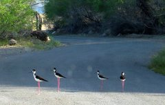 Rock Climbing Photo: Black-necked Stilts in Death Valley blocking the r...