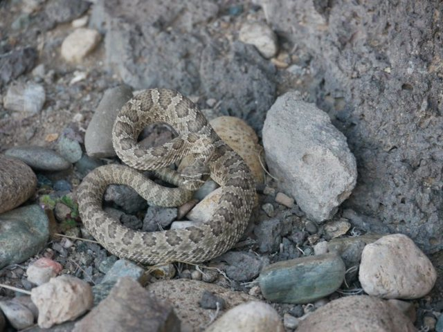 Rock Climbing Photo: Prairie Rattler seen climbing down a crack in the ...
