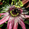 Victoria Passion Flower.<br> Photo by Blitzo.