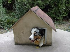 A big dog in a small doghouse