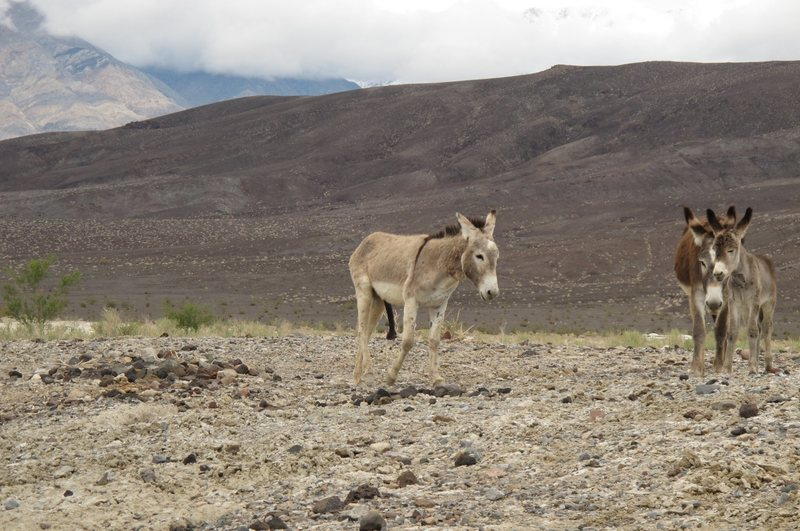 I used to think all burros were cute, and harmless....<br> <br> The overly friendly burro at the Saline Valley Hot Springs. <br> <br> April 20th, 2010.