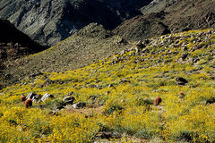 Rock Climbing Photo: Brittlebush and Red Barrels along the trail to 49 ...