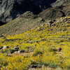 Brittlebush and Red Barrels along the trail to 49 Palms Oasis.<br> Photo by Blitzo.