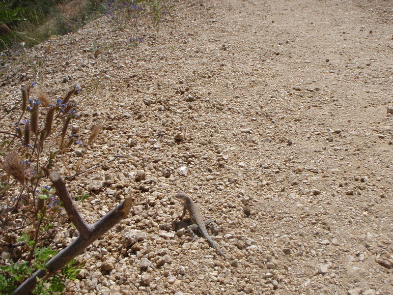 Rock Climbing Photo: The lizards are almost always up for a game of tag...