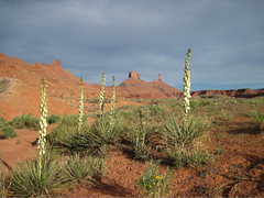 Rock Climbing Photo: Yucca flowers standing tall with the Castle Valley...
