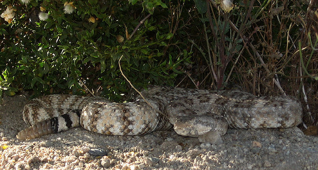 Watch out for rattlesnakes!<br> Photo by Blitzo.
