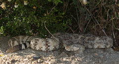 Rock Climbing Photo: Watch out for rattlesnakes! Photo by Blitzo.