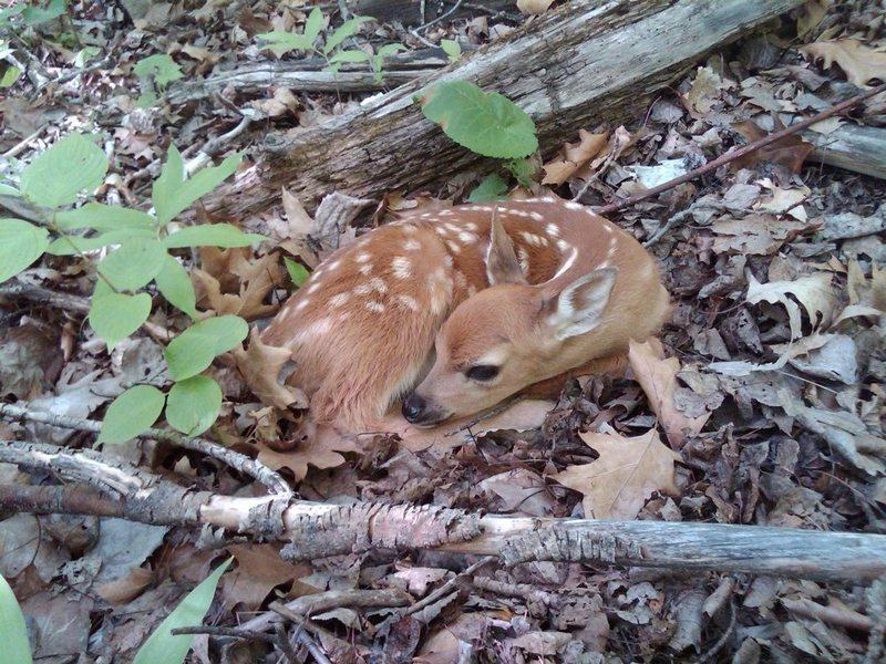 spotted this fawn at Ely's last weekend