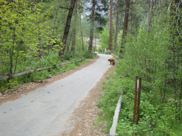 bear in yosemite