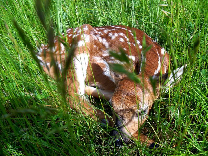 Fawn in the meadow at Wilburn Ridge in Grayson Highlands, VA