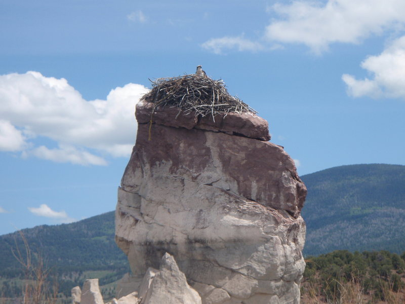 Rock Climbing Photo: a large, angry osprey