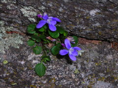 Rock Climbing Photo: Very vibrant blue flowers, Custer State park, June...