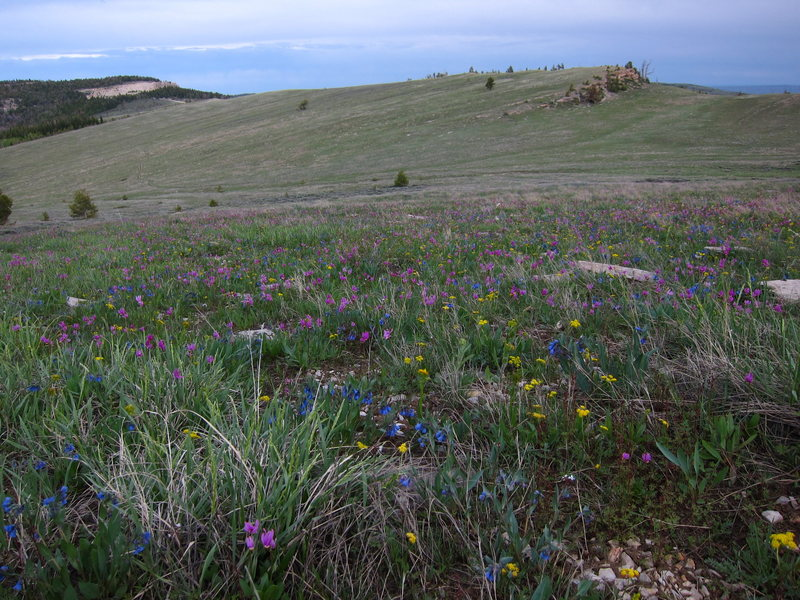 Looking over beautiful flowers from the back side of the Iris. The OK Corral is in the distance.<br> Photo by D. Albers.