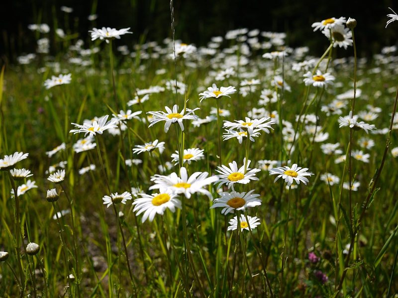 Field of daisys near Cheyenne Crossing, a great place to grab a cold 6 pack after a day climbing.