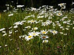 Rock Climbing Photo: Field of daisys near Cheyenne Crossing, a great pl...