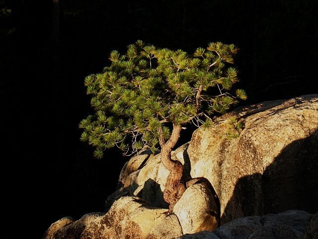 Rock Climbing Photo: Last light on a solitary pine, Castle Rock